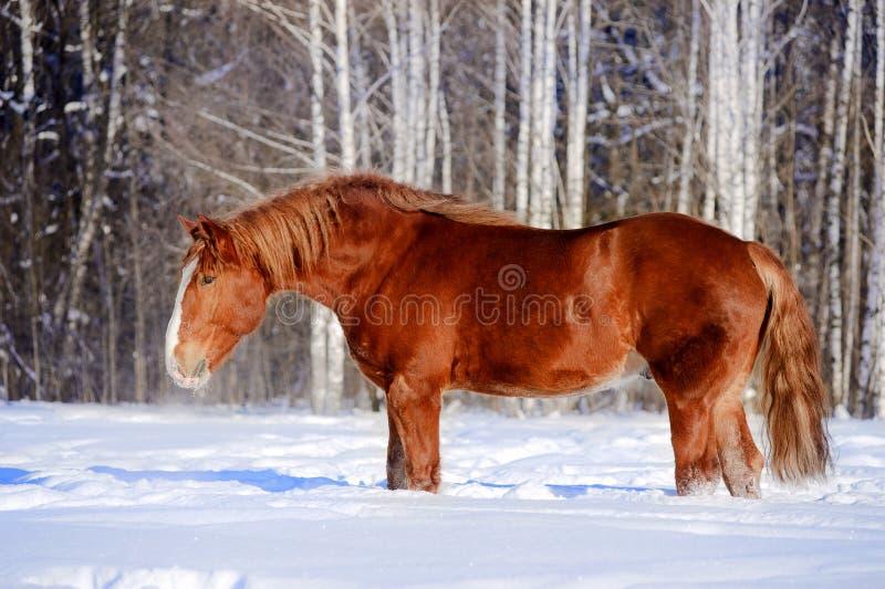 Het paard van het ontwerp in de winterportret stock afbeeldingen