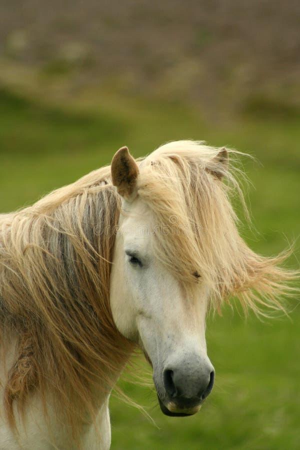 Het paard van IJsland stock foto