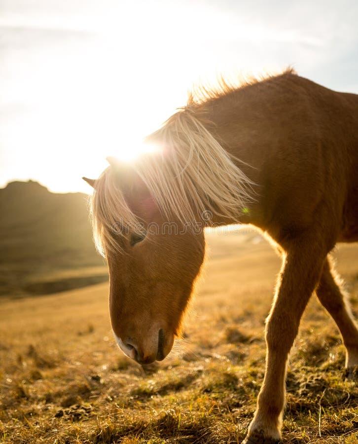 Het Paard van IJsland tijdens Zonsondergang bij zuidelijke Ijslandse Kust - de Poney van IJsland stock afbeelding