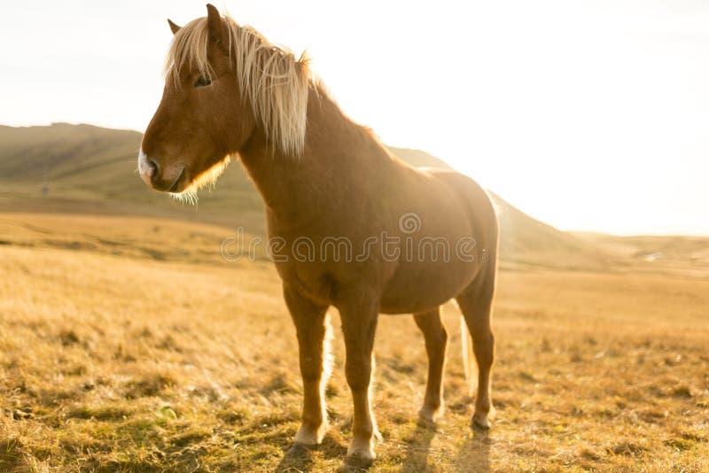 Het Paard van IJsland tijdens Zonsondergang bij zuidelijke Ijslandse Kust - de Poney van IJsland royalty-vrije stock afbeelding