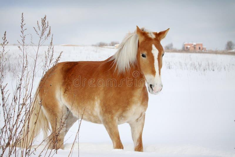 Het paard van Palomino stock afbeelding