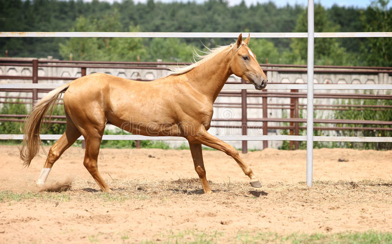 Het paard van Palomino het galopperen royalty-vrije stock fotografie