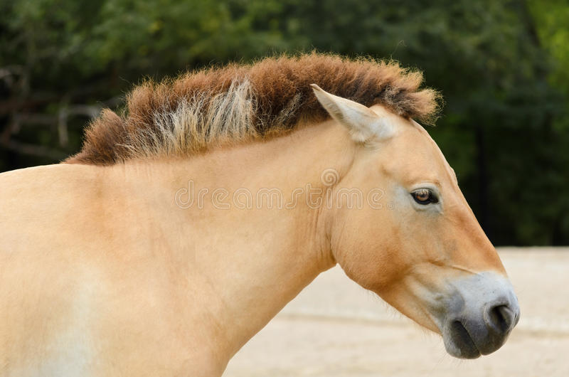 Het Paard van Przewalski royalty-vrije stock foto's