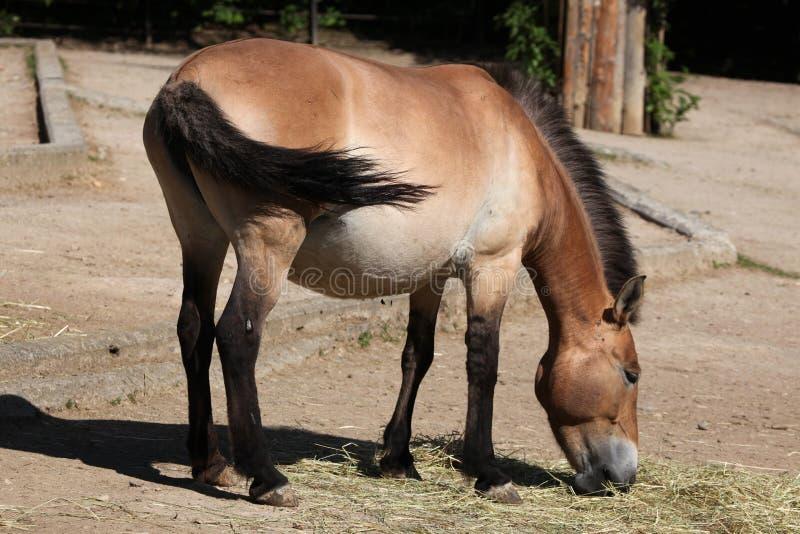 Het Paard van Przewalski (Equus ferusprzewalskii) stock fotografie