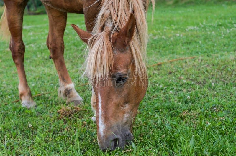 Het paard weidt op het gebied en eet gras royalty-vrije stock foto