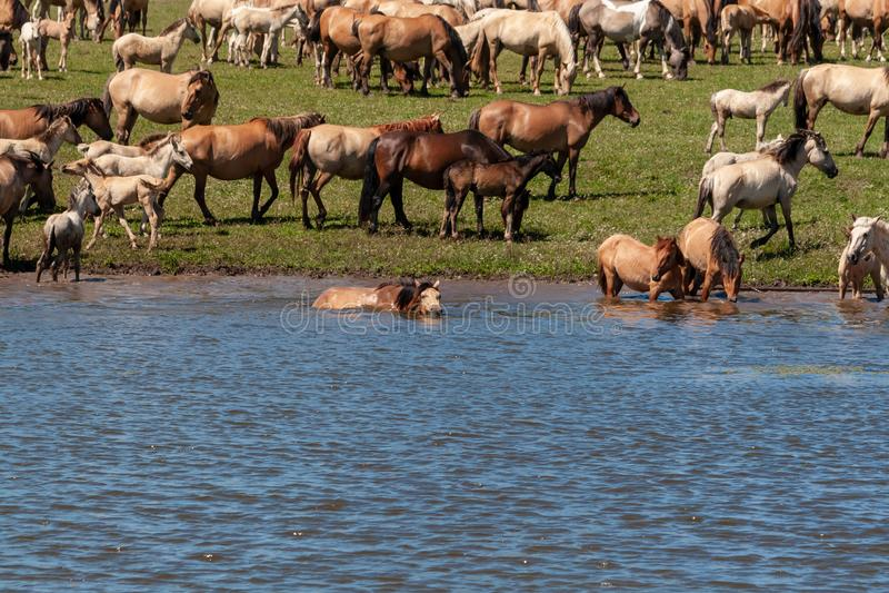 Het paard zwemt in het water Paarden bij de bar Basjkirië royalty-vrije stock afbeelding
