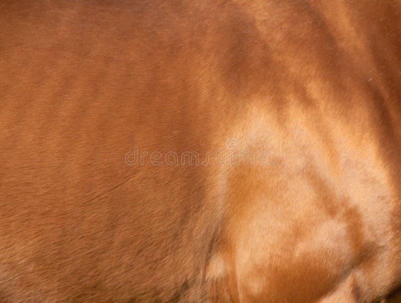 Het paardhuid van de kastanje royalty-vrije stock foto