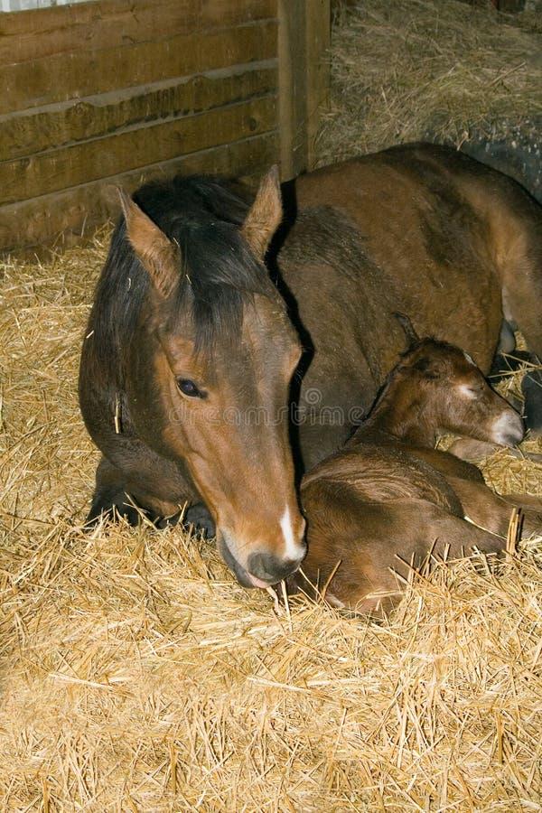 Het paardmerrie en veulen van het kwart stock afbeelding