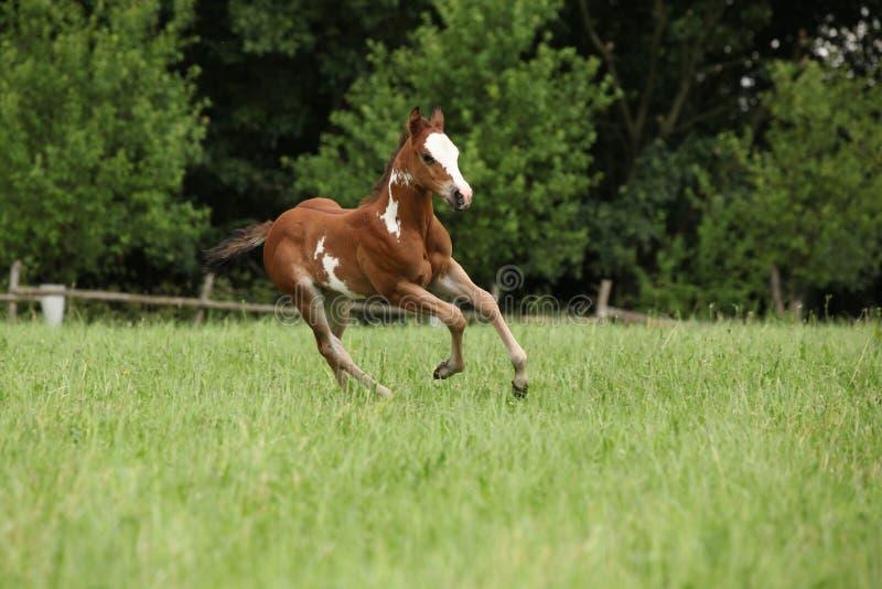 Het paardmerrieveulen die van de Verf van Nice op weiland lopen stock foto's