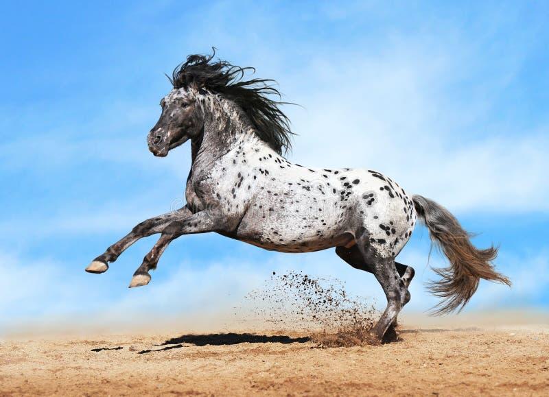 Het paardspel van Appaloosa in de zomer stock foto's