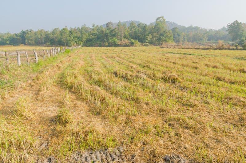 Het padieveld na eind van oogstseizoen royalty-vrije stock afbeelding