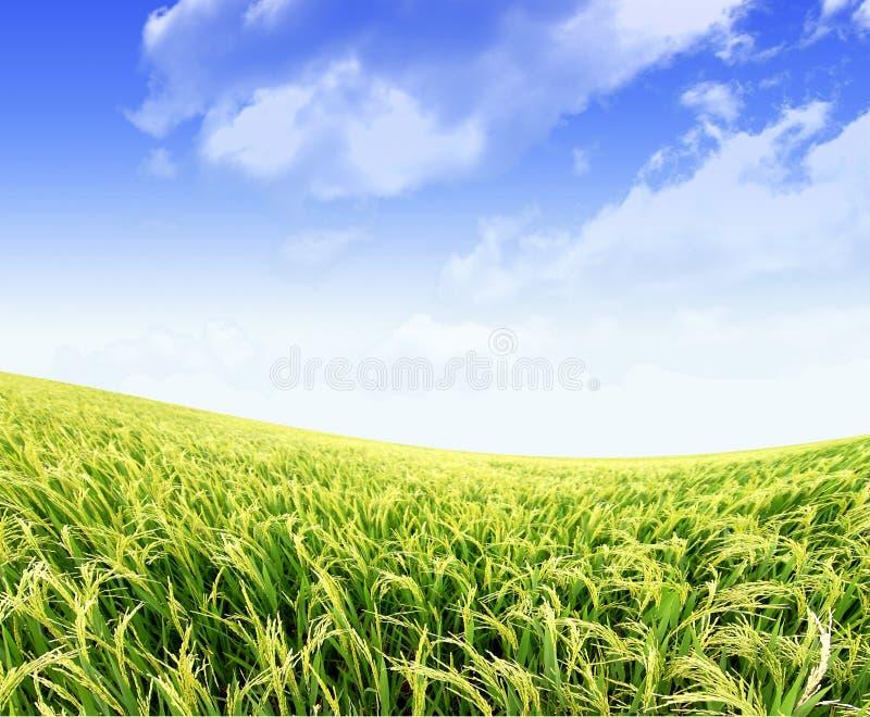 Het padieveld van de padie in blauwe hemel royalty-vrije stock fotografie