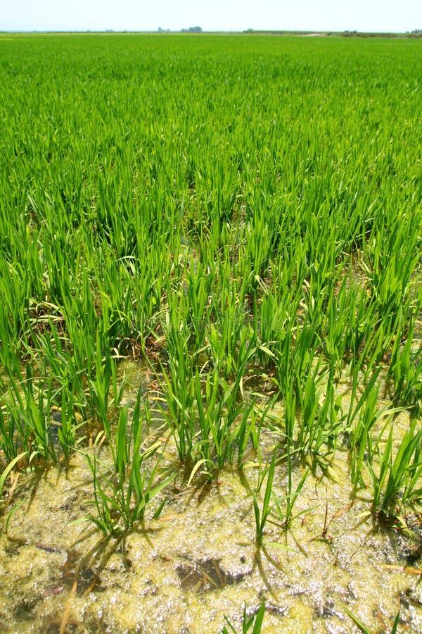 Het padieveldperspectief Spanje Valencia van de landbouw stock foto