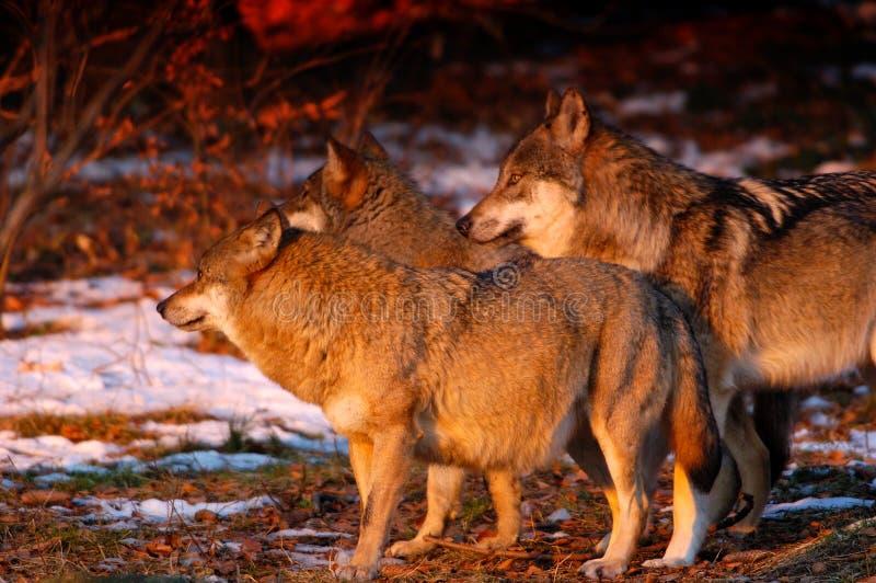 Het pak van Wolfâs in zonsopgang royalty-vrije stock foto's