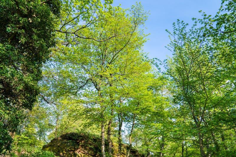 Het Palatinaatbos in de lente duitsland stock afbeeldingen