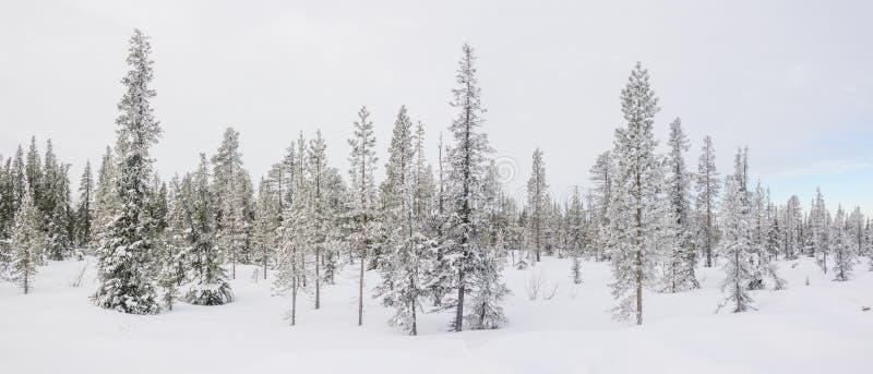 Het panorama met een sneeuw behandelde noordpoolsparren stock fotografie
