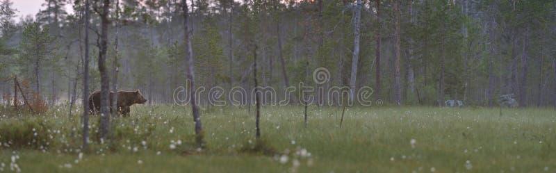 Het panorama van het moeras met bruine beer stock fotografie