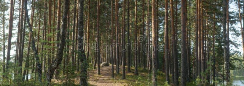 Het panorama van pijnboombos tussen twee meren, de weg gaat in de afstand tussen de rechte boomstammen stock foto