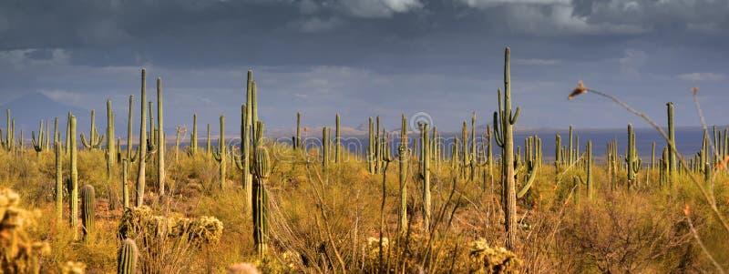 Het panorama van Saguaro stock foto