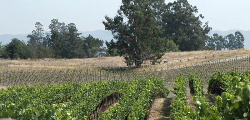 Het panorama van wijngaarden royalty-vrije stock afbeeldingen