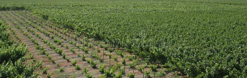 Het panorama van wijngaarden stock foto
