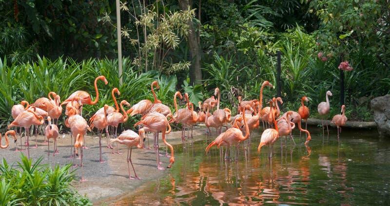Het paradijs van de flamingo stock afbeelding