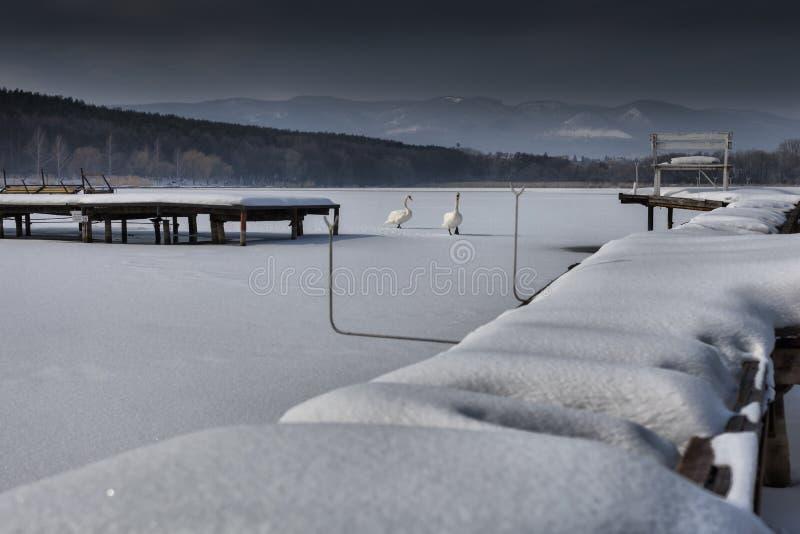 Het pari van zwanen die op bevroren, sneeuw lopen behandelde oppervlakte van royalty-vrije stock foto's
