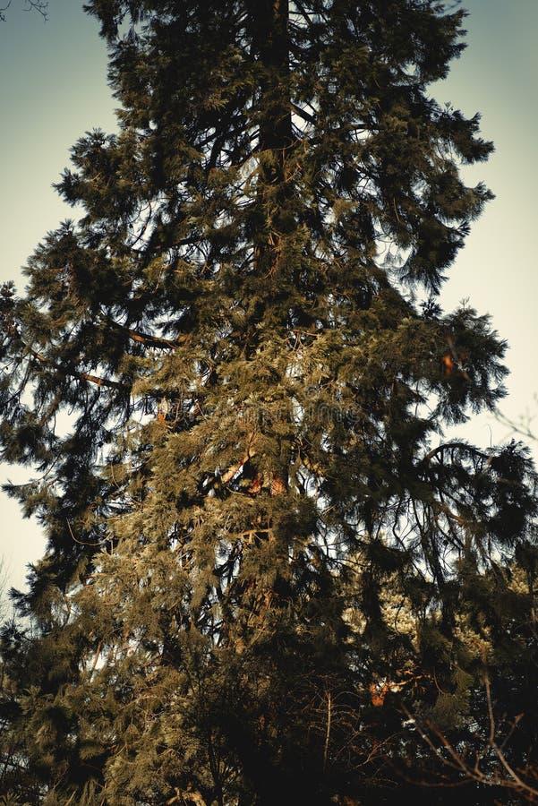 Het Park Disley, Darbyshire Engeland van Lyme van de Californische sequoiaboom stock foto's