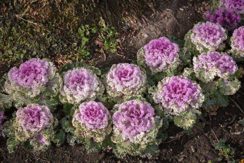 Het park kijkt mooie bloemkoolbladeren als landschap Prachtig verfraaid bloembed Goed voor artikelen over bloemen, aard royalty-vrije stock foto's