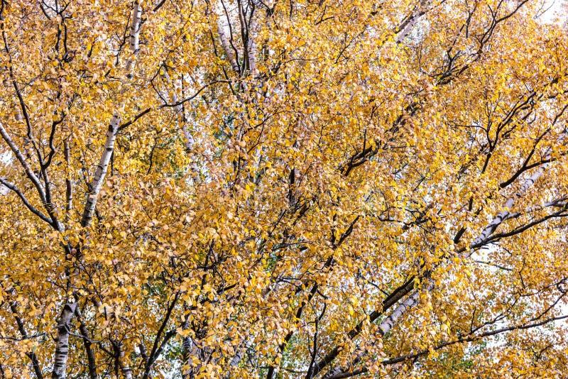 Het park van de berkboom in de herfst royalty-vrije stock fotografie