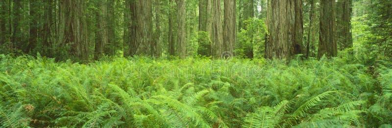 Het Park van de Staat van de Californische sequoia van Smith van Jedediah stock foto's