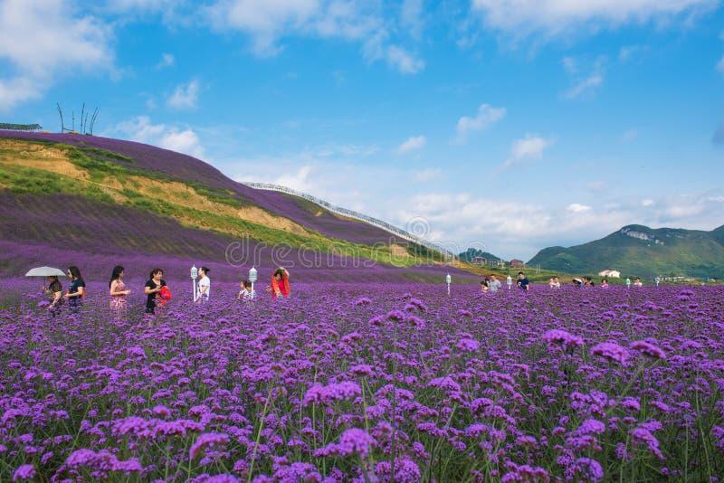 Het Park van het lavendelgebied stock foto