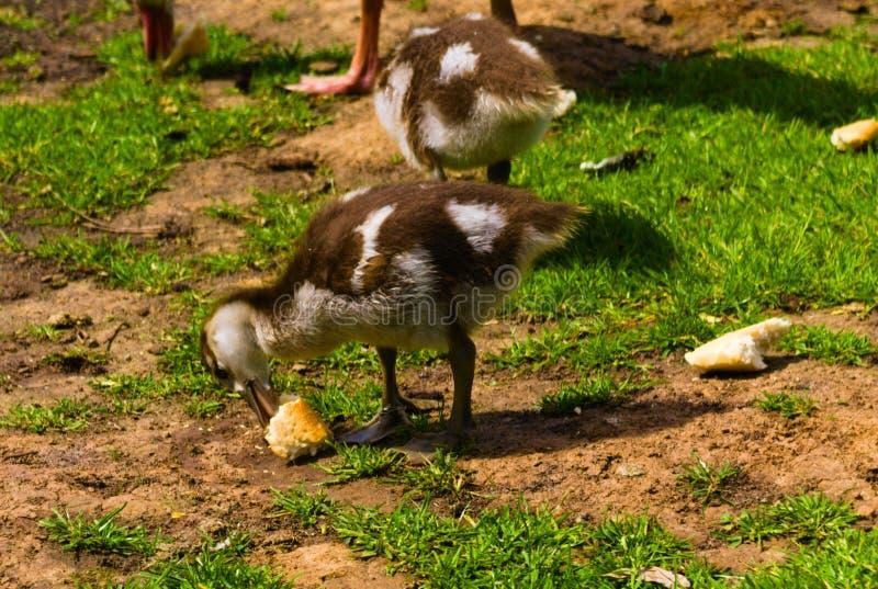 Het pasgeboren babyeend spelen in het park stock afbeelding
