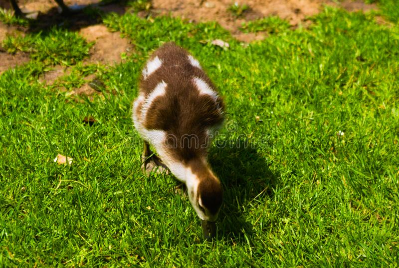 Het pasgeboren babyeend spelen in het park stock afbeeldingen