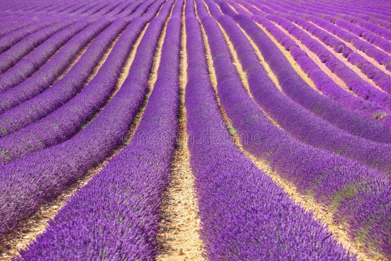 Het patroon van de bloemgebieden van de lavendel. De Provence, Frankrijk royalty-vrije stock foto's