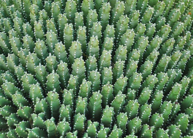 Het patroon van de cactus stock afbeelding
