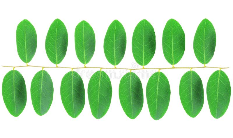 Het patroon van groen die blad op witte achtergrond wordt geïsoleerd stock fotografie
