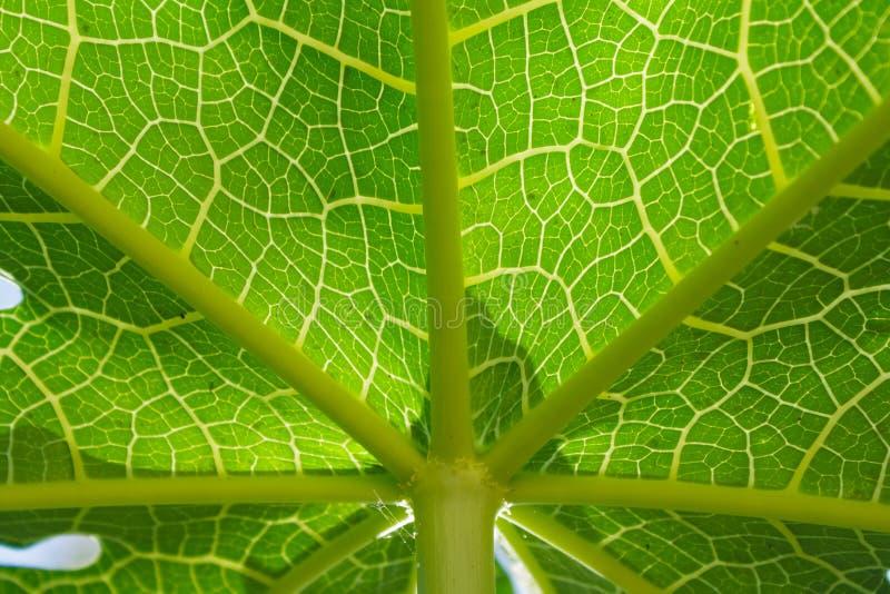 Het patroon van het papajablad royalty-vrije stock afbeeldingen