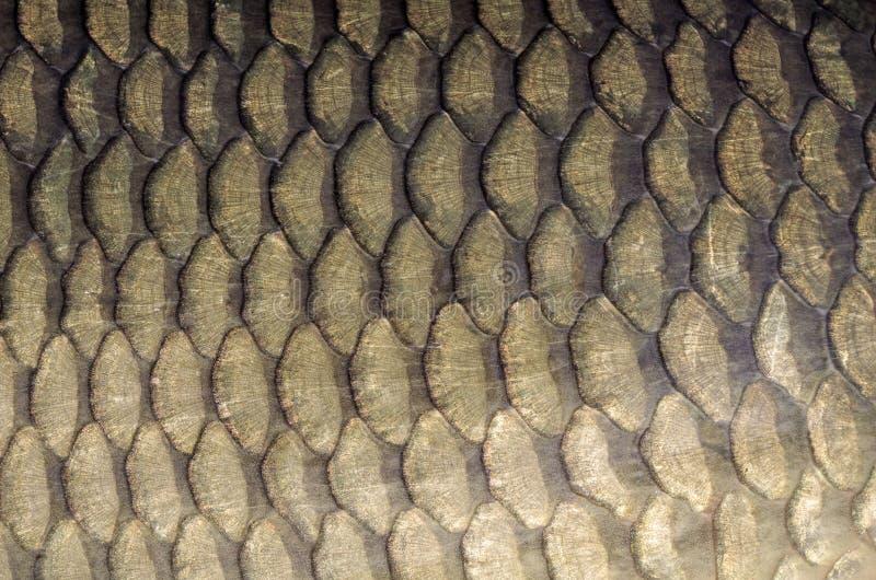 Het patroon van vissenschalen Gemeenschappelijke karper stock foto's