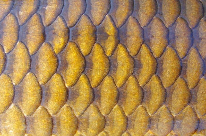 Het patroon van vissenschalen Gemeenschappelijke karper royalty-vrije stock afbeelding