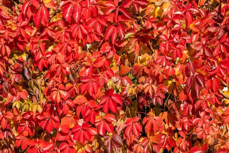 Het patroonachtergrond van de de herfst veelkleurige wilde druif stock foto's