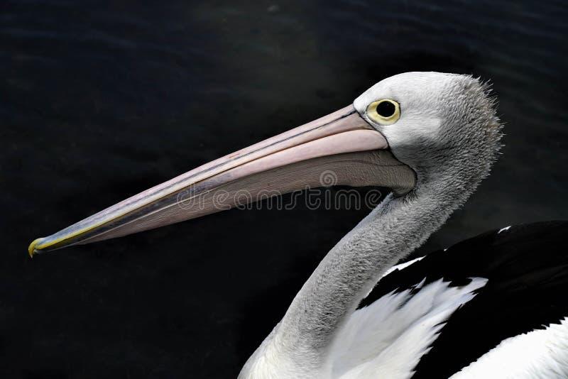 Het pelikaanwild van de hoofdmening van Australië stock afbeeldingen