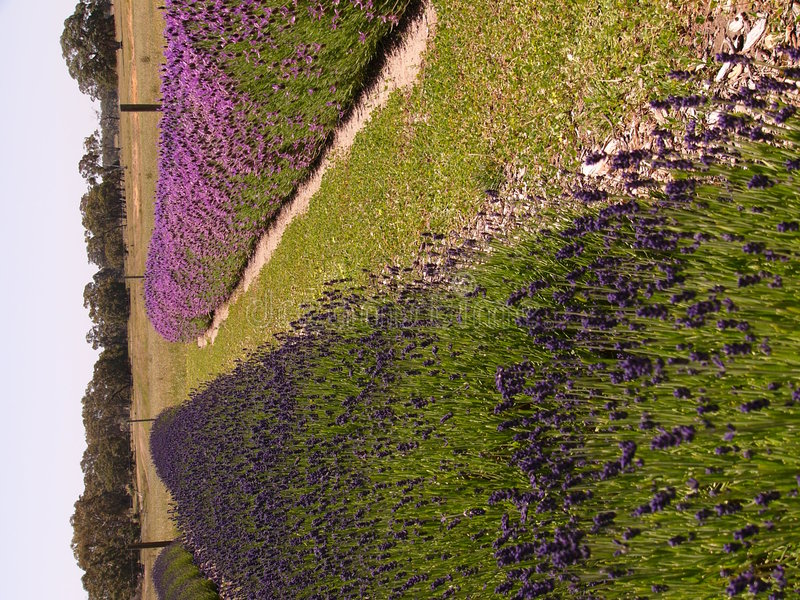 Het Perceel Van De Lavendel Stock Fotografie