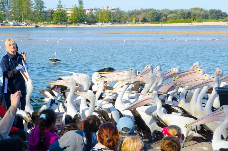 Het personeel toont hoe te om honderd van pelikaanvogels dichtbij de kust van de ingang te voeden stock afbeeldingen