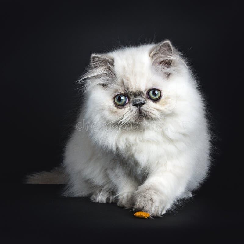 Het Perzische katje spelen met voedsel stock afbeeldingen