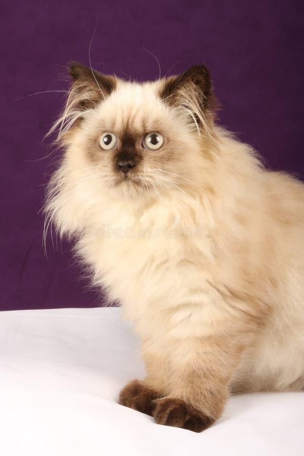 Het Perzische Katje van Himalayan stock foto's