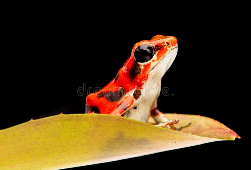 Het pijltjekikker van het aardbeivergift van het regenwoud van Boca del Toros stock afbeelding
