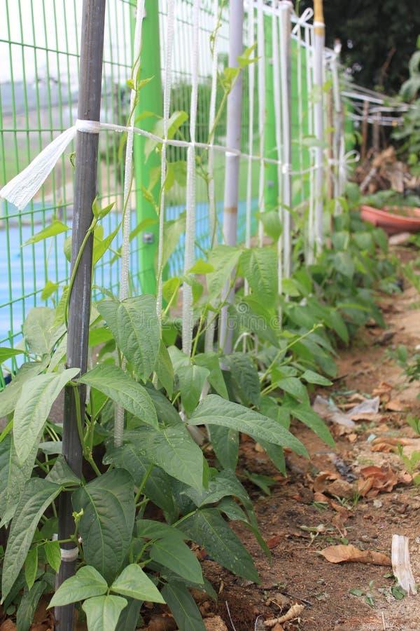Het plantaardige groeien stock fotografie