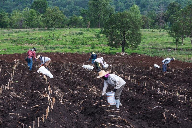Het planten op maniokgebied royalty-vrije stock afbeelding