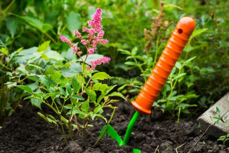 Het planten van astilbe bloem in de tuin royalty-vrije stock foto